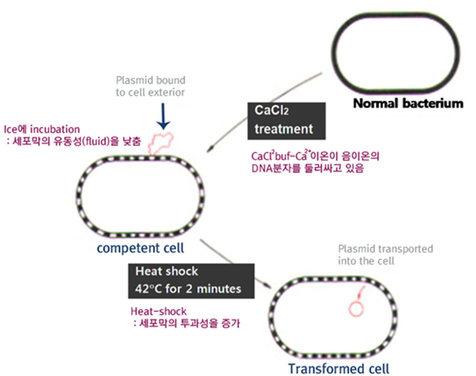 genetic transformation by heat shock Construction of plasmid vectors and a genetic transformation  in order to perform further genetic analysis  transformation procedure except that heat shock.
